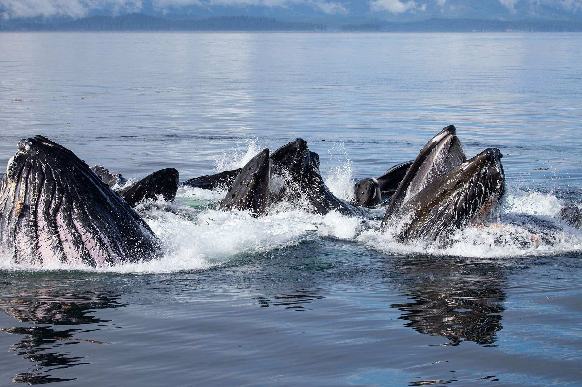 Yacht Charter Alaska Bubble Net Feeding Close Humpbacks Whales