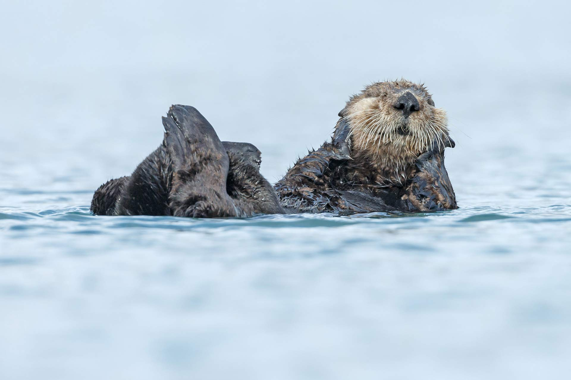 Yacht Charter Destination Alaska Highlight Sea Otter