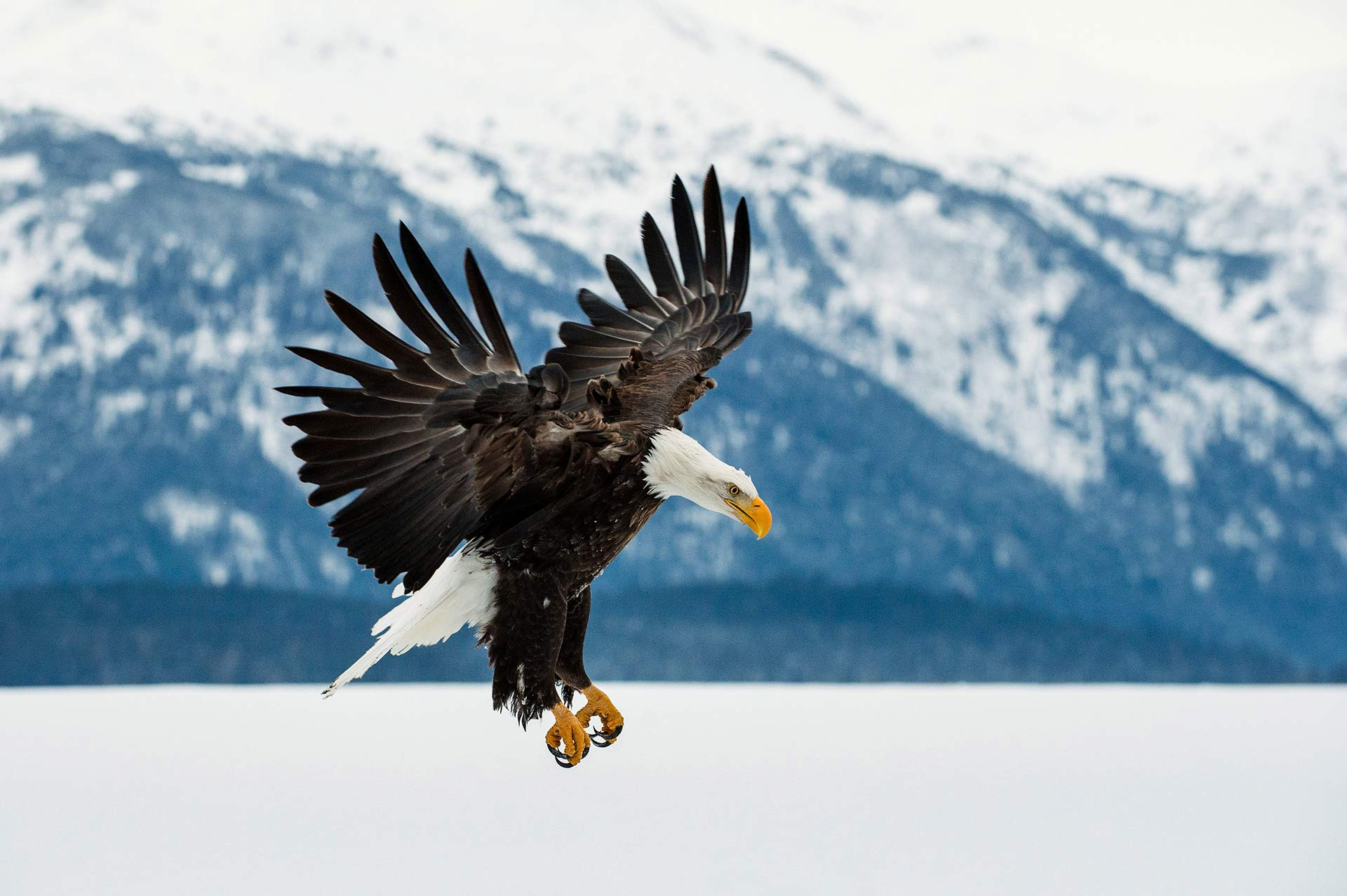 Yacht Charter Alaska Activity Bird Watching Bald Eagle